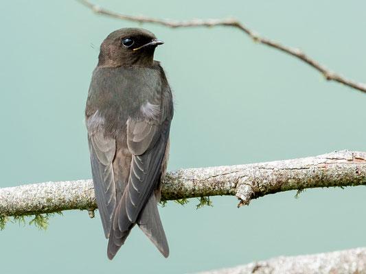 Black Saw-wing, Psalidoprocne pristoptera