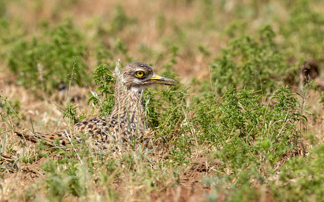 Spotted Thick-knee , Burhinus capensis