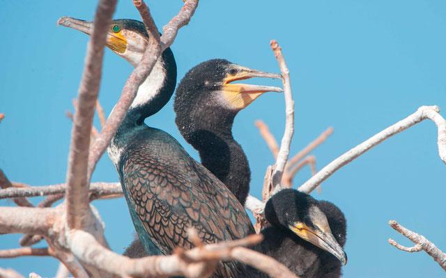 Grand cormoran, Phalacrocorax carbo