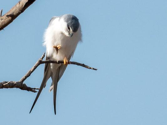 Scissor-tailed Kite, Chelictinia riocourii. Aledeghi reserve