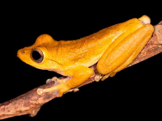 Dendropsophus ebraccatus. Individu atypique car cette espèce est souvent tachetée.