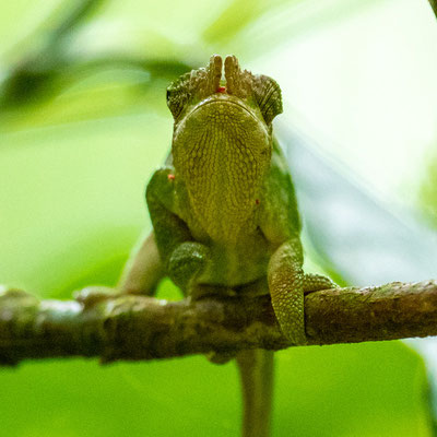 West Usambara two-horned chameleon , Kinyongia multituberculata . Endemic to the West Usambara