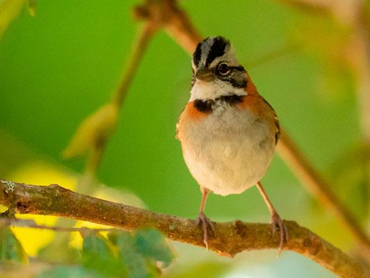 Rufous-collared Sparrow , Zonotrichia capensis