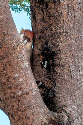 Patas monkey, Erythrocebus patas. A little shy