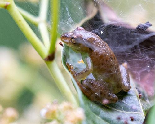 Hyperolius mitchelli
