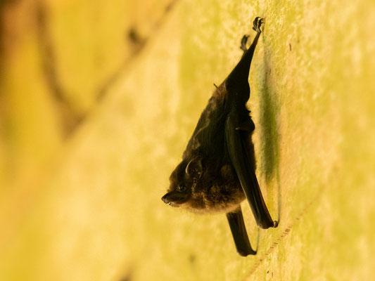 Greater sac-winged bat , Saccopteryx bilineata