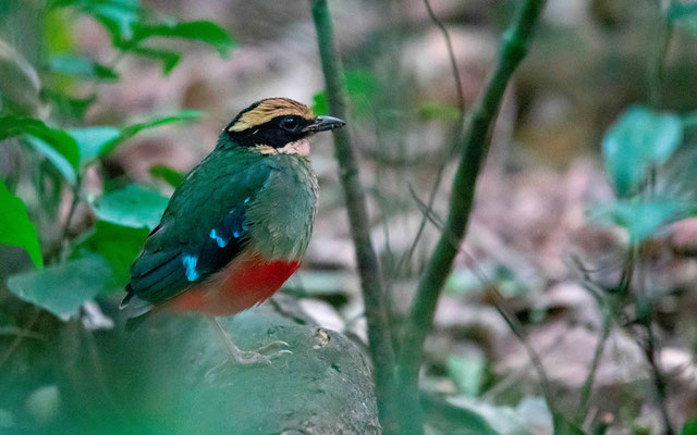 The famous and very shy Green-breasted Pitta, Pitta reichenowi