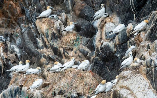 Northern Gannet, Morus bassanus. Colonys on the cliffs