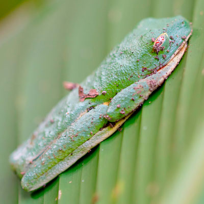 Red-eyed tree frog, Agalychnis callidryas resting