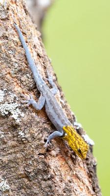 Lygodactylus luteopicturatus, un endémique de la famille des Gekkonidae.