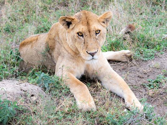 Lion , Panthera leo