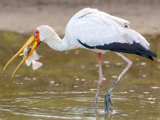 Tantale ibis, Mycteria ibis. Doho lodge