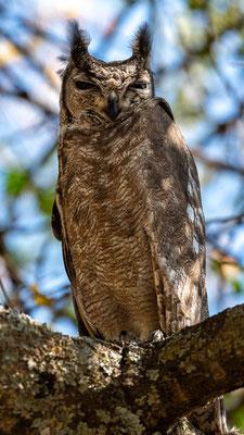 Greyish Eagle-Owl, Bubo cinerascens.  Around the old Simbo Lodge