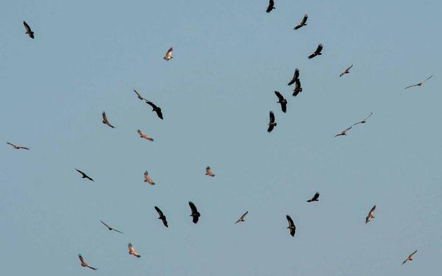 Gathering of various species of vultures