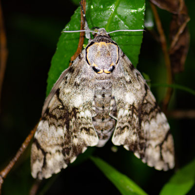 Papillon nocturne indéterminé.
