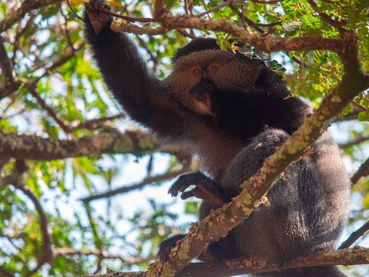 Blue monkey, Cercopithecus n. mitis