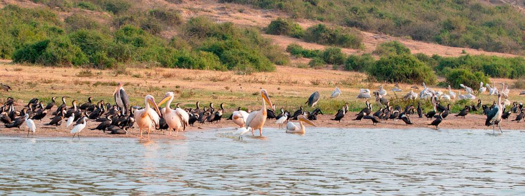 Le rivage du canal de Kazinga toujours rempli d'oiseaux. Pélican blanc, Pelecanus onocrotalus, Grand Cormoran, Phalacrocorax carbo, Marabout d'Afrique, Leptoptilos crumeniferus, Aigrette garzette, Egretta garzetta