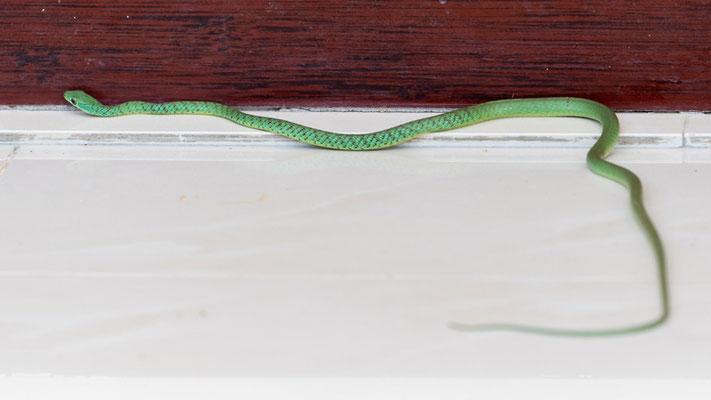 Belle surprise devant notre logement! Philothamnus emivariegatus