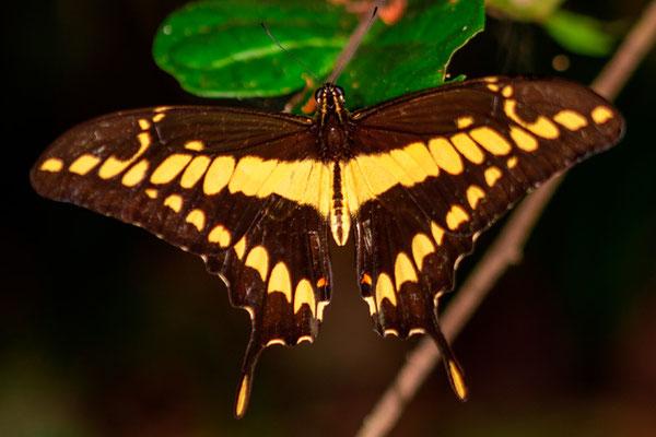 Papilio rumiko,  observé la nuit.