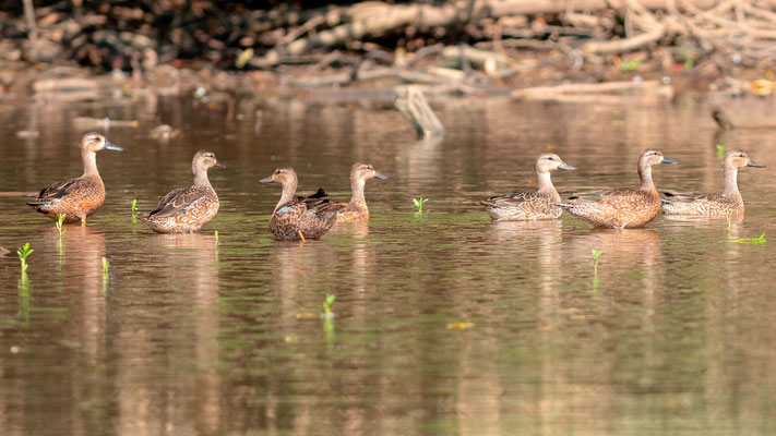 Blue-winged Teal, Anas discors, Tarcoles river
