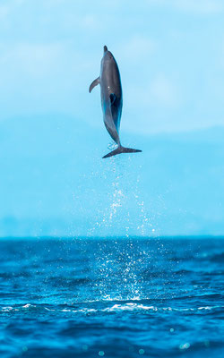 Pantropical spotted dolphin,  Stenella attenuata in the Golfo Dulce