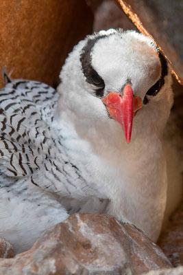 Red-billed Tropicbird, Phaeton aethereus