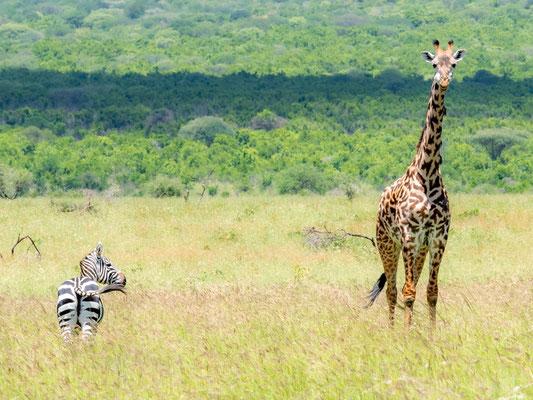 Girafe, Giraffa camelopardalis et Zèbre de Grant, Equus quagga boehmi