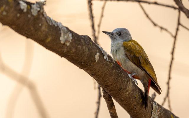 Eastern Grey Woodpecker, Chloropicus spodocephalus.  Around the old Simbo Lodge