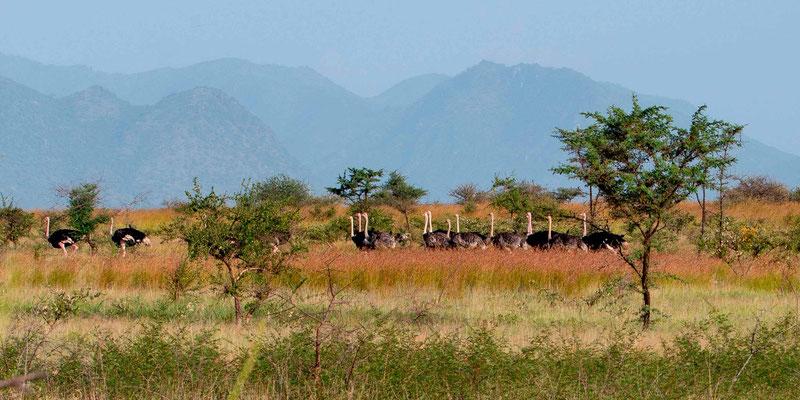 Groupe d'Autruche d'Afrique , Struthio camelus . Il y en avait environ 80!