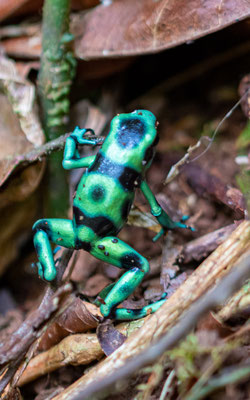 Green-and-black poison dart frog,Dendrobates auratus