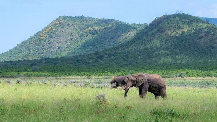 Eléphant de savane, Loxodonta africana dans son milieu.