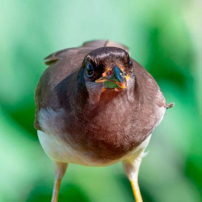 Brown Jay, Psilorhinus morio