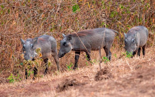 Young Common warthog, Phacochoerus africanus