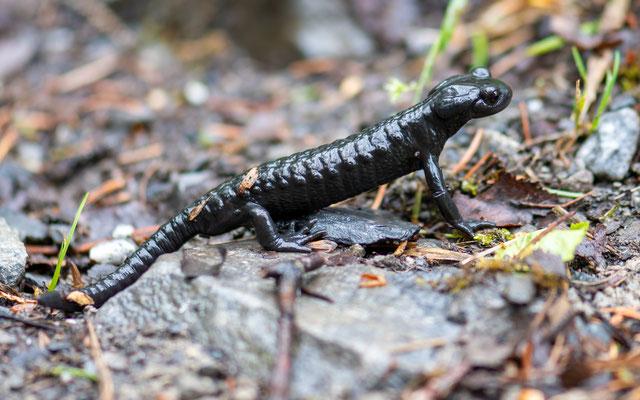 Alpine salamande, Salamandra atra. Kandersteg, Suisse, printemps 2019