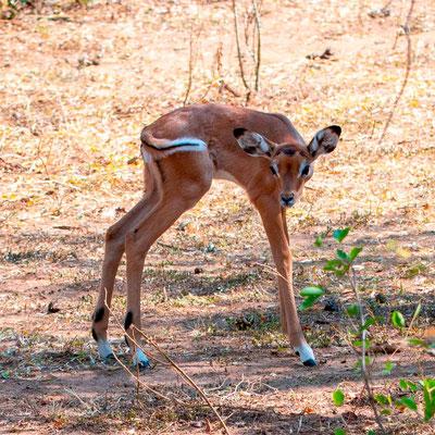 Impala, Aepyceros melampus