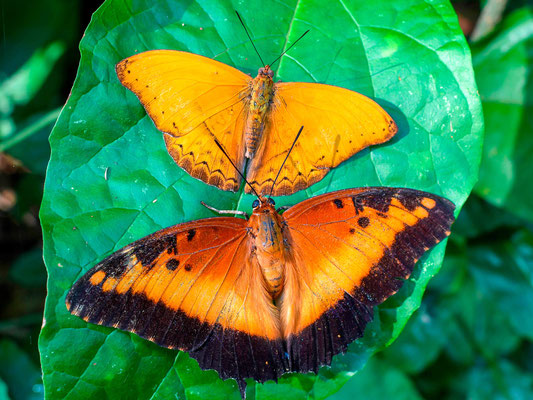 Charaxes pollux, in the front