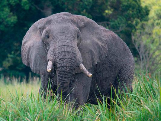 Elephant d'Afrique, Loxondonta africana