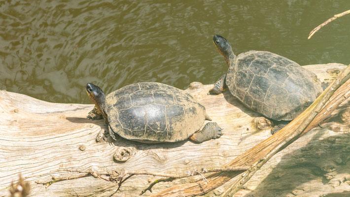 Black wood turtle, Rhinoclemmys funerea