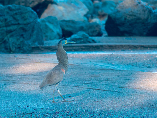 Bare-throated Tiger Heron, Tigrisoma mexicanum, along the Rio Claro