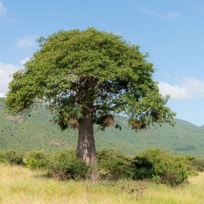 Wooded savannah of Mkomazi NP