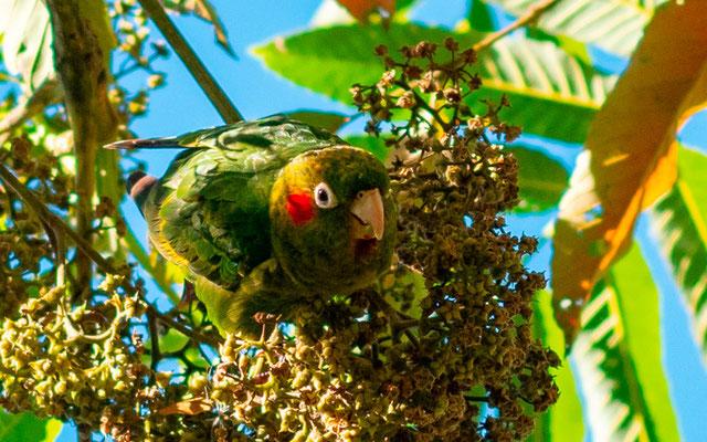 Conure de Hoffmann, Pyrrhura hoffmanni. Endémique du Costa Rica et du Panama.