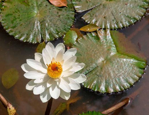 White lotus, Nymphaea lotus, Nema Ba valley