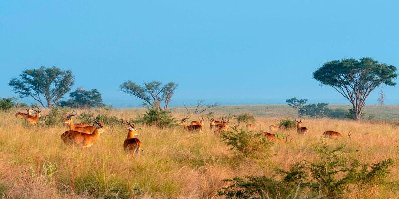 Group of Ugandan kob , Kobus kob thomasi