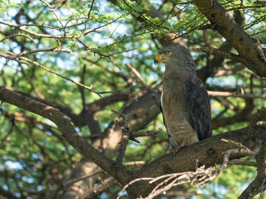 Western Banded Snake Eagle, Circaetus cinerascens