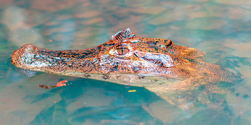 Spectacled caiman, Caiman crocodilus juvenile