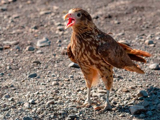 Young Common Black Hawk, Buteogallus anthracinus, Tarcoles river