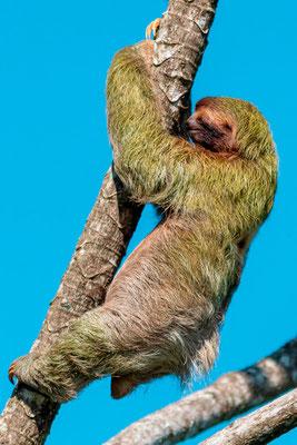 Brown-throated sloth , Bradypus variegatus