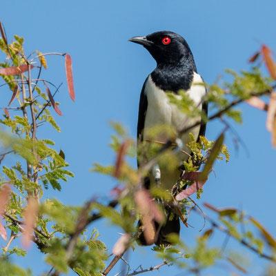 Magpie Starling, Speculipastor bicolor