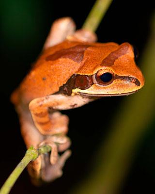 Craugastor crassidigitus, in the forest around Villa Lapas