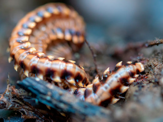 Platyrhacidae indet.